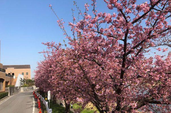 トップジミー岡崎の桜の画像